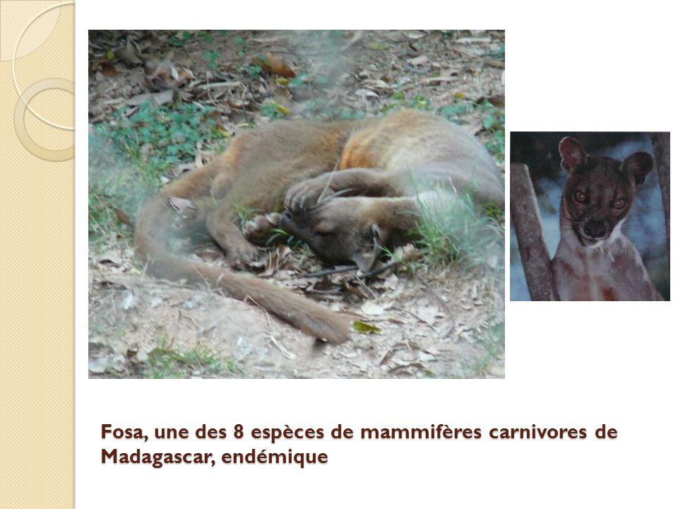 Fosa, une des 8 espèces de mammifères carnivores de Madagascar, endémique