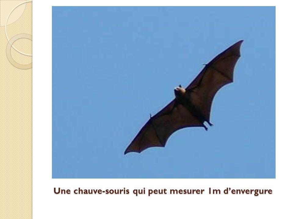 Une chauve-souris qui peut mesurer 1m denvergure Une chauve-souris qui peut mesurer 1m denvergure