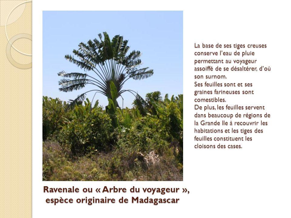 Ravenale ou « Arbre du voyageur », espèce originaire de Madagascar La base de ses tiges creuses conserve leau de pluie permettant au voyageur assoiffé de se désaltérer, doù son surnom.
