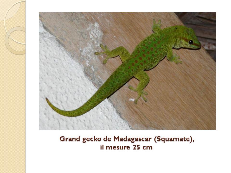 Grand gecko de Madagascar (Squamate), il mesure 25 cm