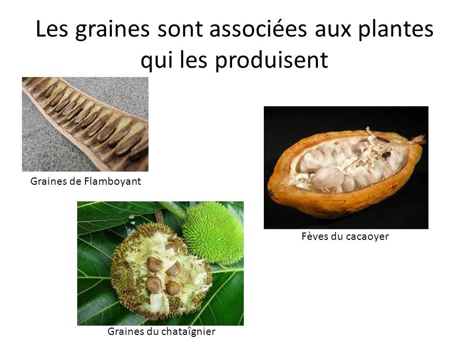 Les graines sont associées aux plantes qui les produisent Graines de Flamboyant Fèves du cacaoyer Graines du chataîgnier