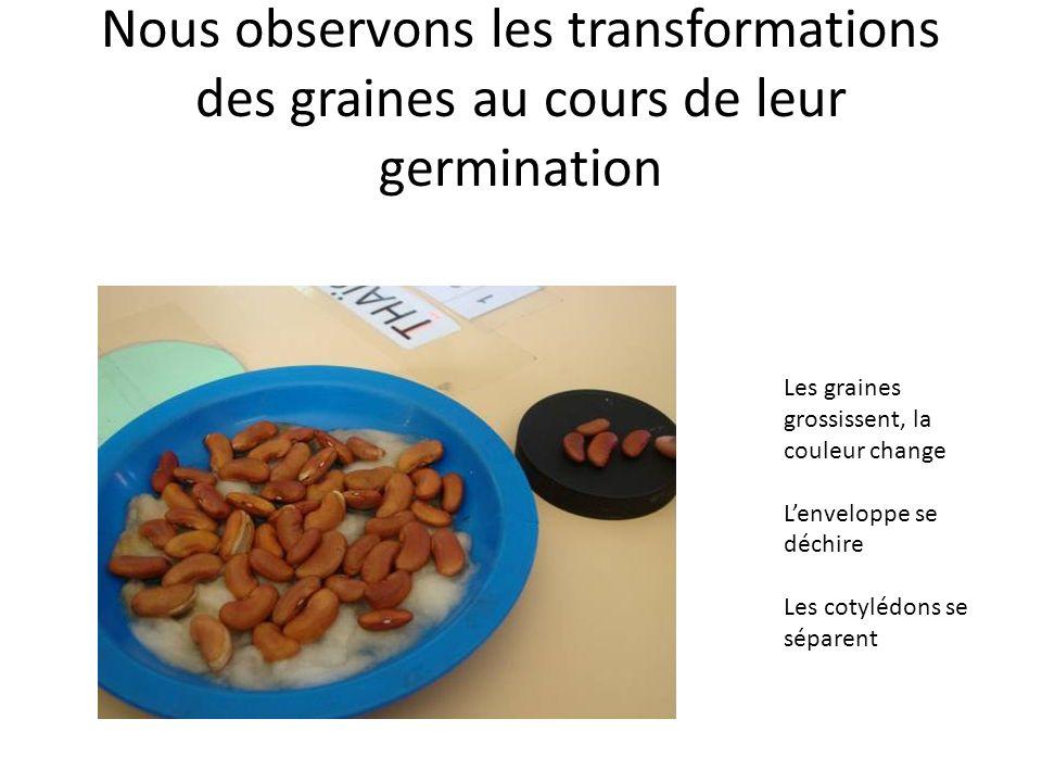 Nous observons les transformations des graines au cours de leur germination Les graines grossissent, la couleur change Lenveloppe se déchire Les cotylédons se séparent