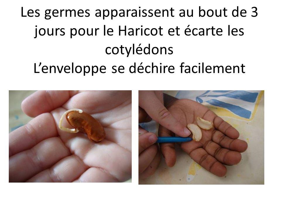 Les germes apparaissent au bout de 3 jours pour le Haricot et écarte les cotylédons Lenveloppe se déchire facilement