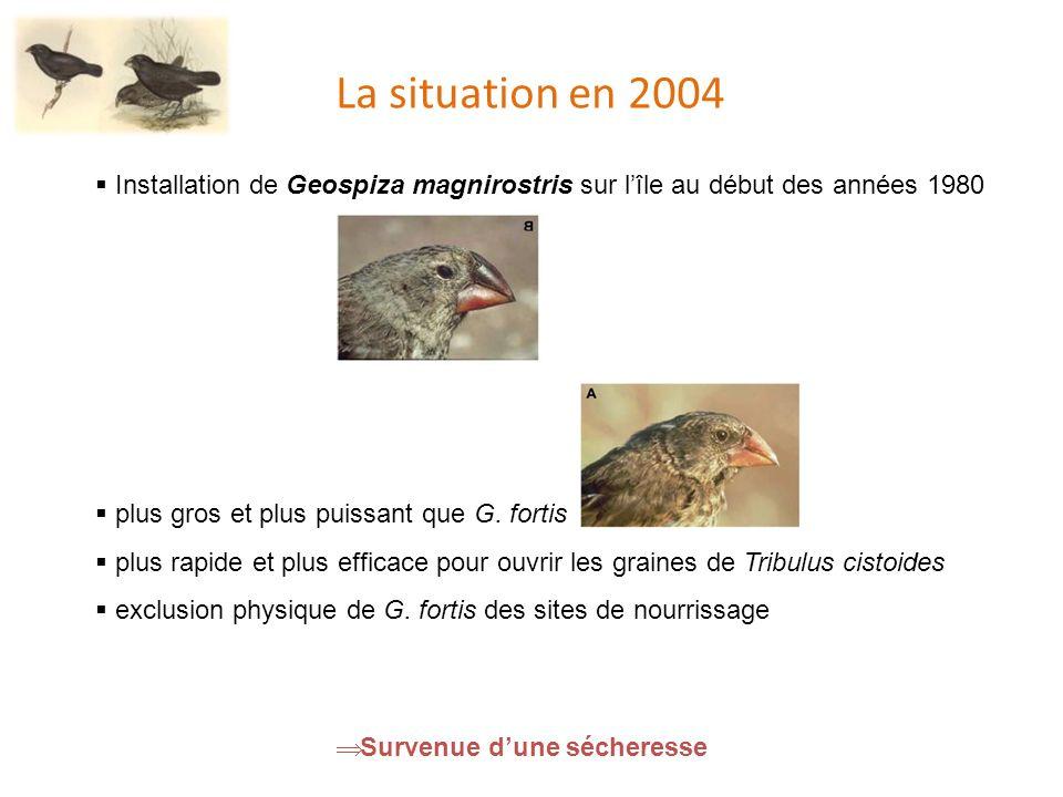 La situation en 2004 Installation de Geospiza magnirostris sur lîle au début des années 1980 plus gros et plus puissant que G.