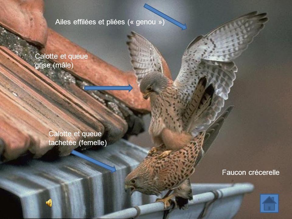 Ailes effilées et pliées (« genou ») Faucon crécerelle Calotte et queue tachetée (femelle) Calotte et queue grise (mâle)