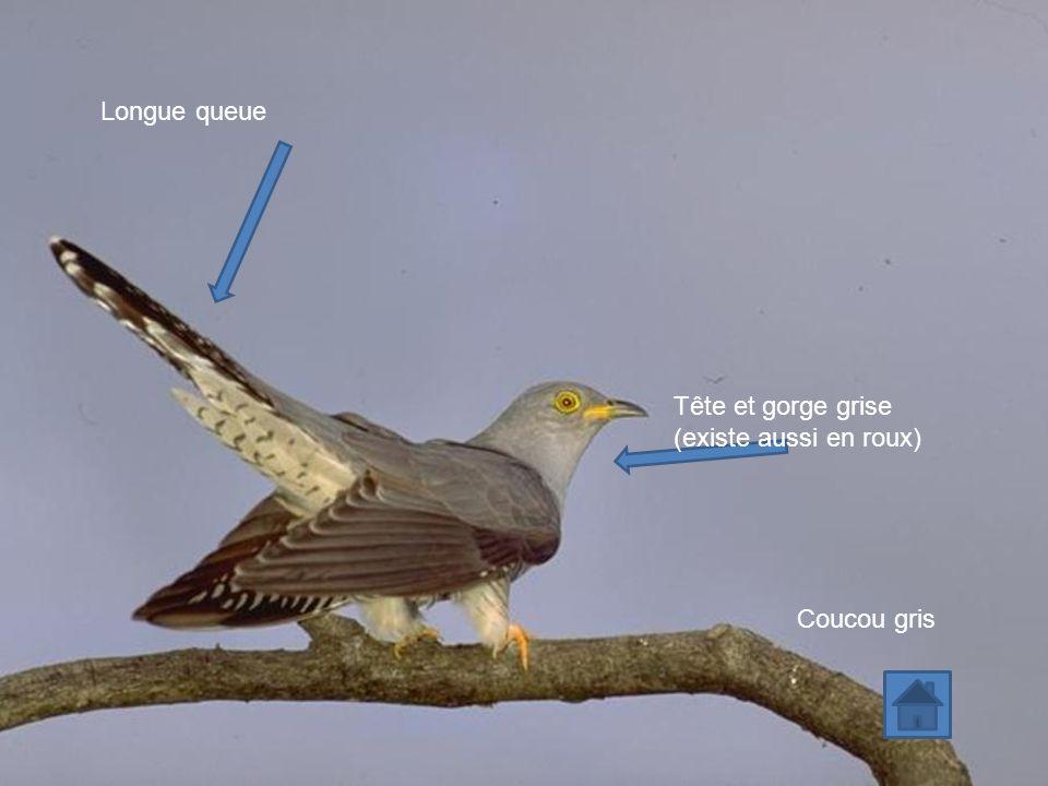 Coucou gris Tête et gorge grise (existe aussi en roux) Longue queue