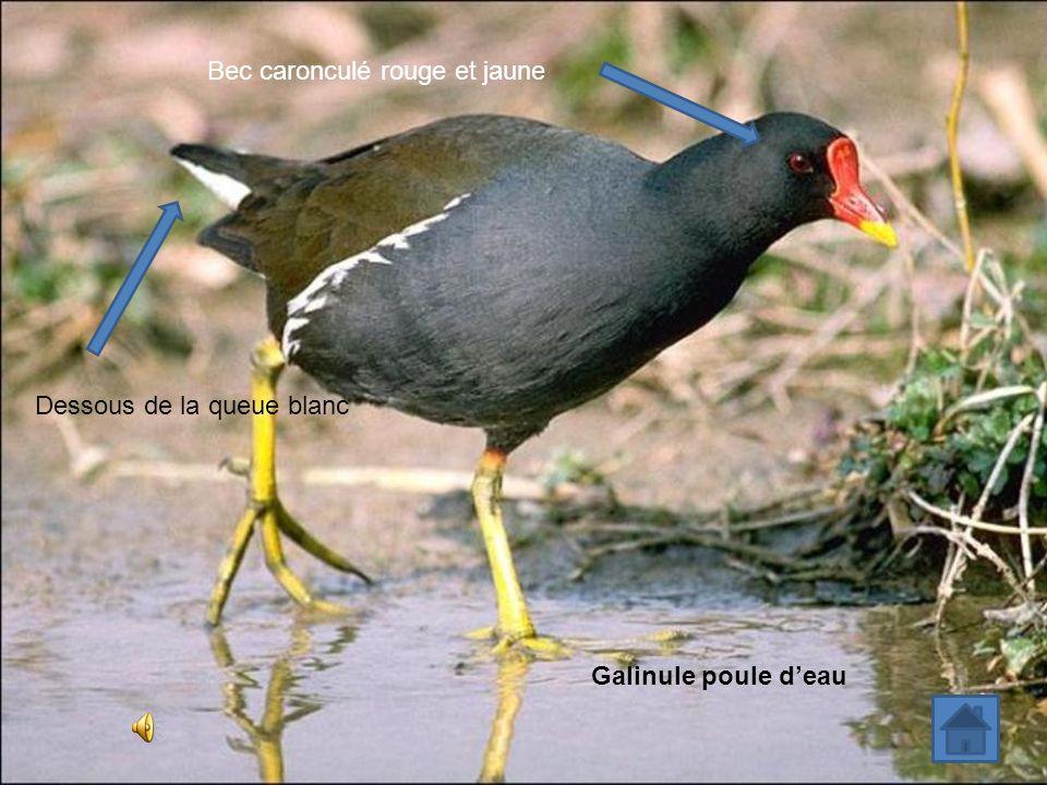 Bec caronculé rouge et jaune Galinule poule deau Dessous de la queue blanc
