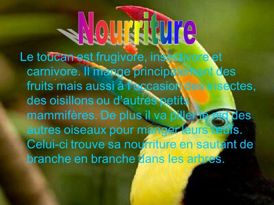 Le toucan est frugivore, insectivore et carnivore. Il mange principalement des fruits mais aussi à loccasion des insectes, des oisillons ou dautres pe