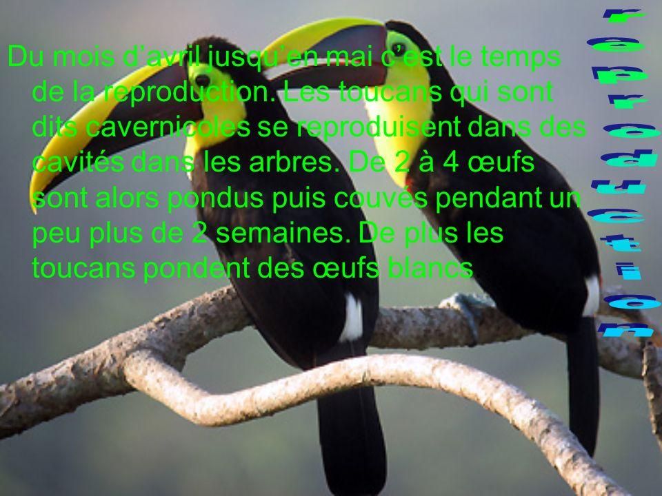 Du mois davril jusquen mai cest le temps de la reproduction. Les toucans qui sont dits cavernicoles se reproduisent dans des cavités dans les arbres.