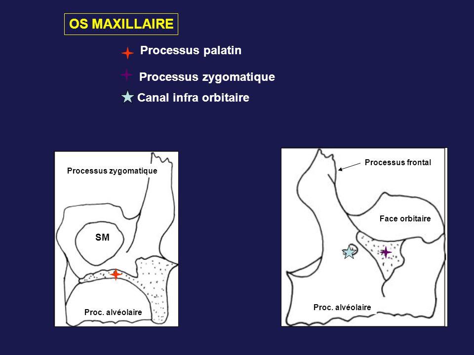 Processus zygomatique SM Proc. alvéolaire Processus palatin Processus zygomatique Face orbitaire Processus frontal Proc. alvéolaire Canal infra orbita
