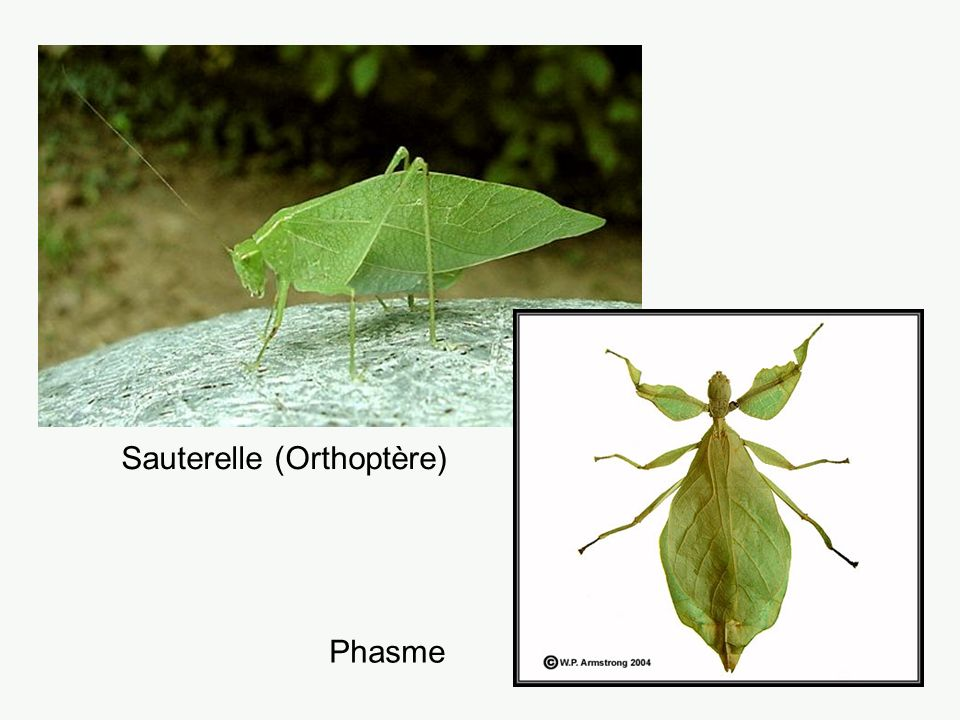 Sauterelle (Orthoptère) Phasme