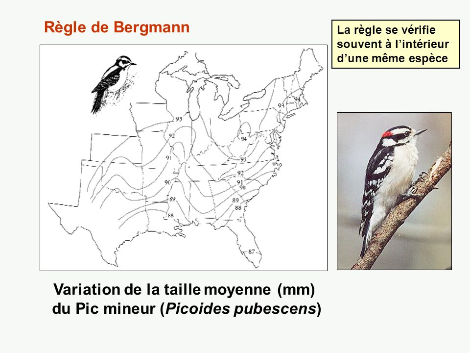 Variation de la taille du moineau domestique, Passer domesticus Plus la couleur est foncée, plus la taille est grande Règle de Bergmann