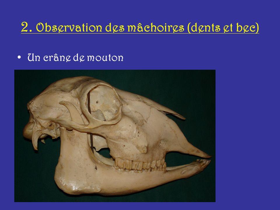 2. Observation des mâchoires (dents et bec) Un crâne de mouton