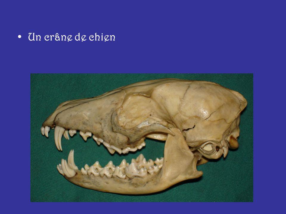 Un crâne de chien