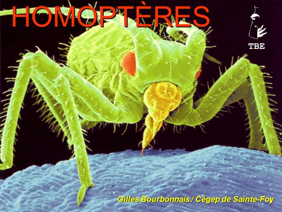 Cornicules = organes de défense contre les prédateurs.