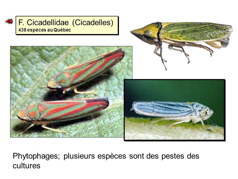 F. Cicadellidae (Cicadelles) 438 espèces au Québec Phytophages; plusieurs espèces sont des pestes des cultures