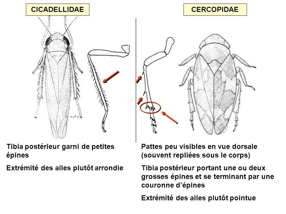 CICADELLIDAECERCOPIDAE Pattes peu visibles en vue dorsale (souvent repliées sous le corps) Tibia postérieur portant une ou deux grosses épines et se t
