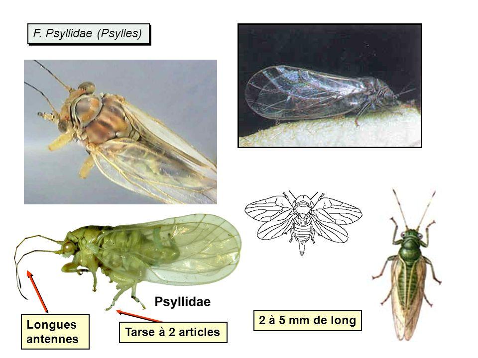 F. Psyllidae (Psylles) 2 à 5 mm de long Tarse à 2 articles Longues antennes