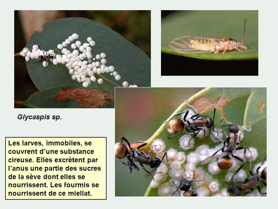Glycaspis sp. Les larves, immobiles, se couvrent dune substance cireuse. Elles excrètent par lanus une partie des sucres de la sève dont elles se nour