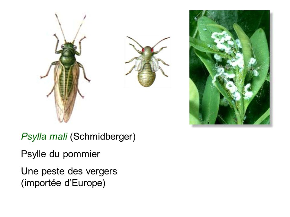Psylla mali (Schmidberger) Psylle du pommier Une peste des vergers (importée dEurope)