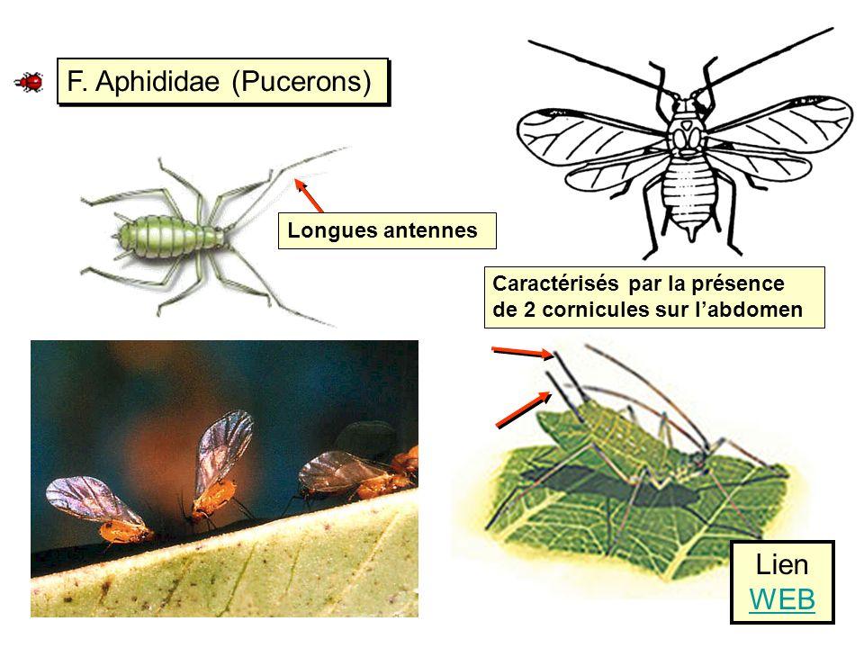 F. Aphididae (Pucerons) Caractérisés par la présence de 2 cornicules sur labdomen Lien WEB WEB Longues antennes