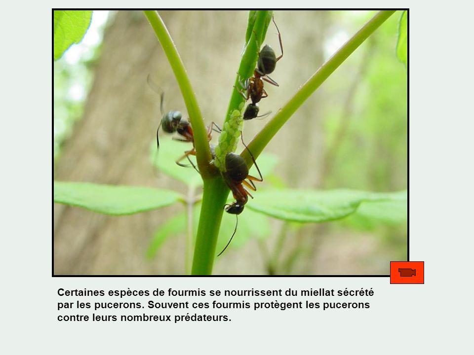 Certaines espèces de fourmis se nourrissent du miellat sécrété par les pucerons. Souvent ces fourmis protègent les pucerons contre leurs nombreux préd