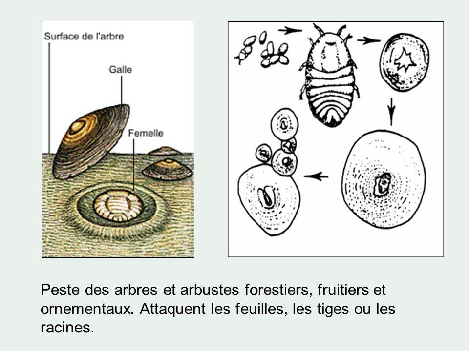 Peste des arbres et arbustes forestiers, fruitiers et ornementaux. Attaquent les feuilles, les tiges ou les racines.