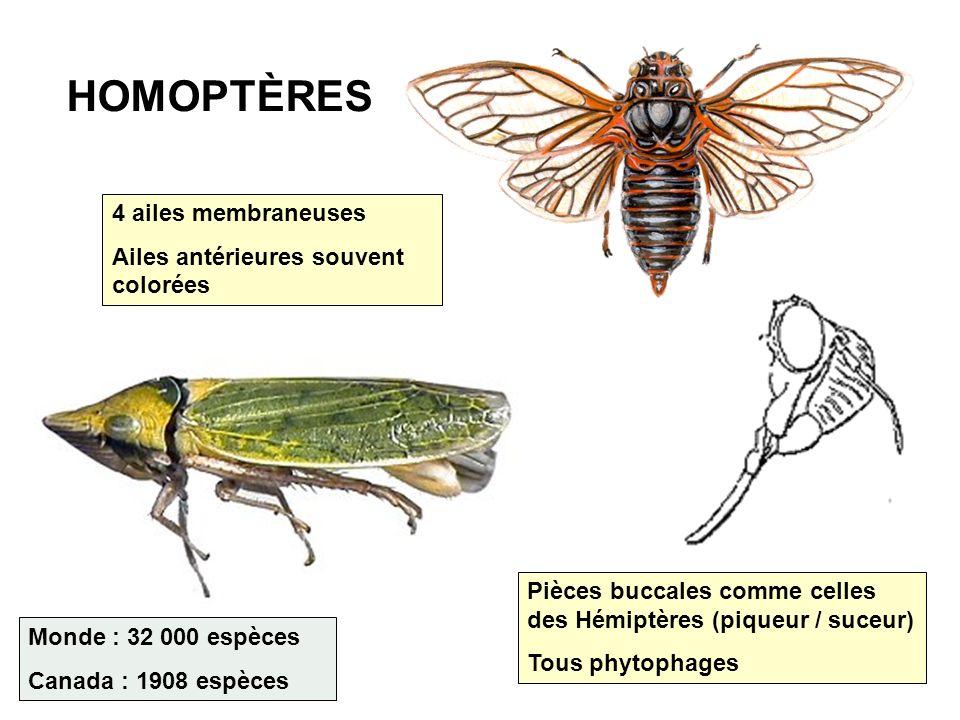 HOMOPTÈRES 4 ailes membraneuses Ailes antérieures souvent colorées Pièces buccales comme celles des Hémiptères (piqueur / suceur) Tous phytophages Mon
