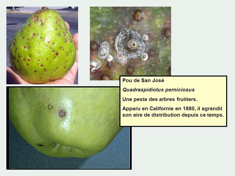 Pou de San José Quadraspidiotus perniciosus Une peste des arbres fruitiers. Apparu en Californie en 1880, il agrandit son aire de distribution depuis
