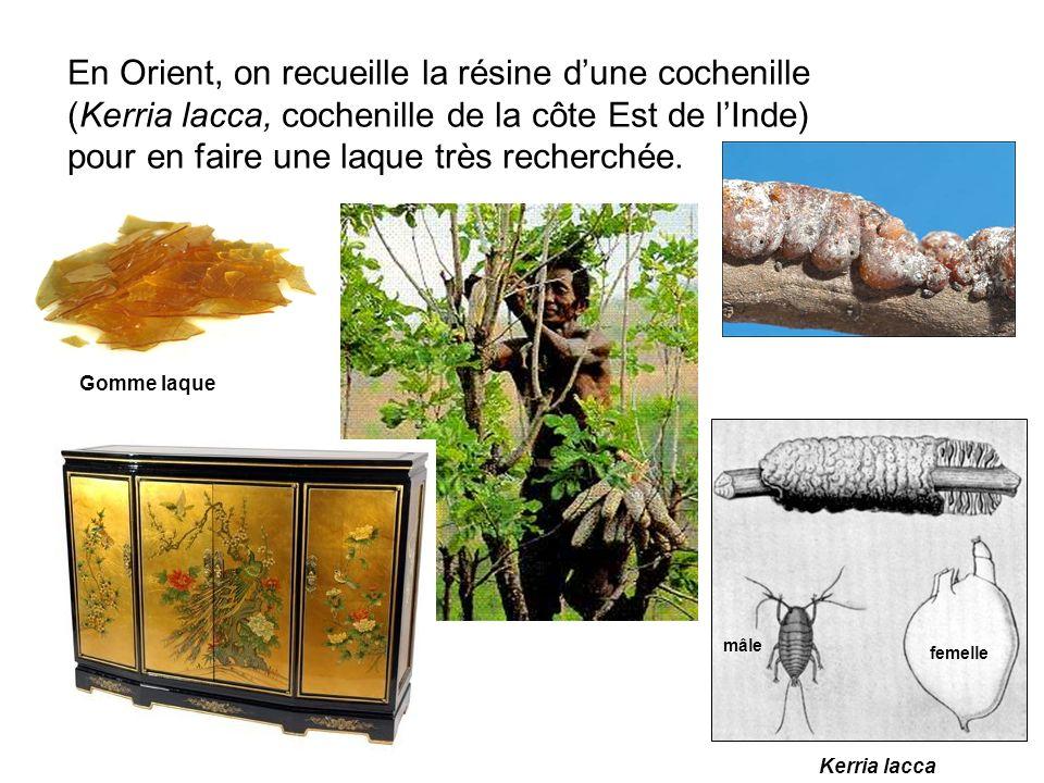 En Orient, on recueille la résine dune cochenille (Kerria lacca, cochenille de la côte Est de lInde) pour en faire une laque très recherchée. Gomme la