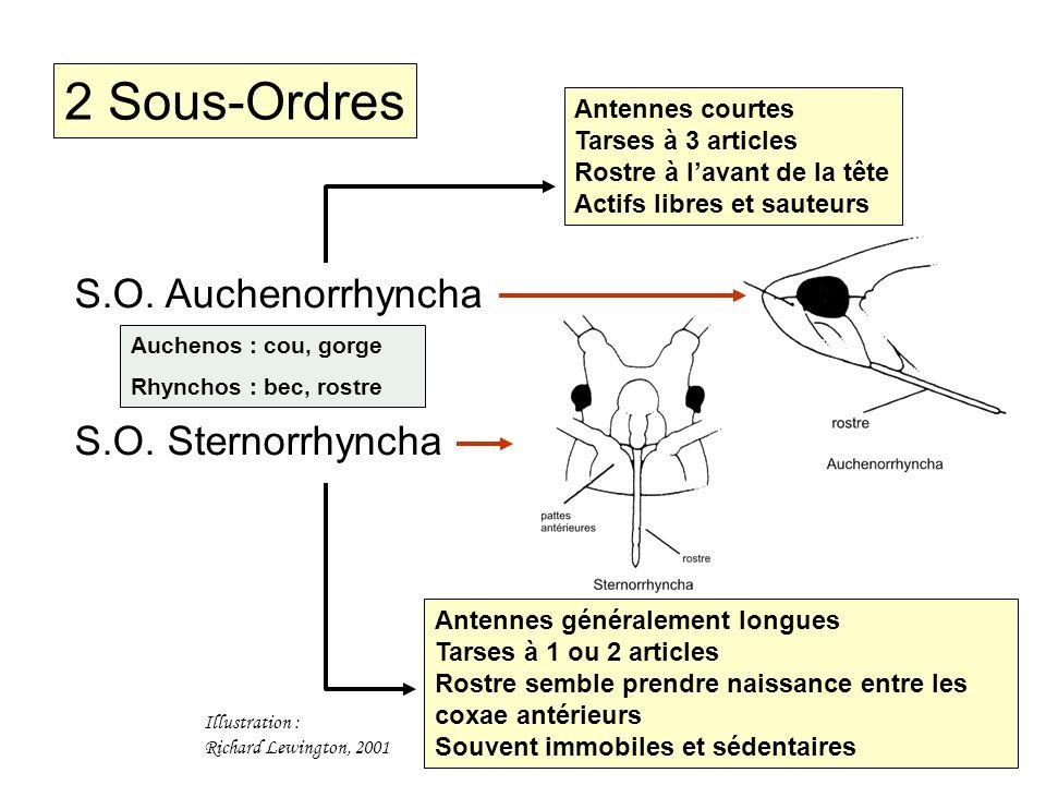 S.O. Auchenorrhyncha S.O. Sternorrhyncha 2 Sous-Ordres Antennes courtes Tarses à 3 articles Rostre à lavant de la tête Actifs libres et sauteurs Anten