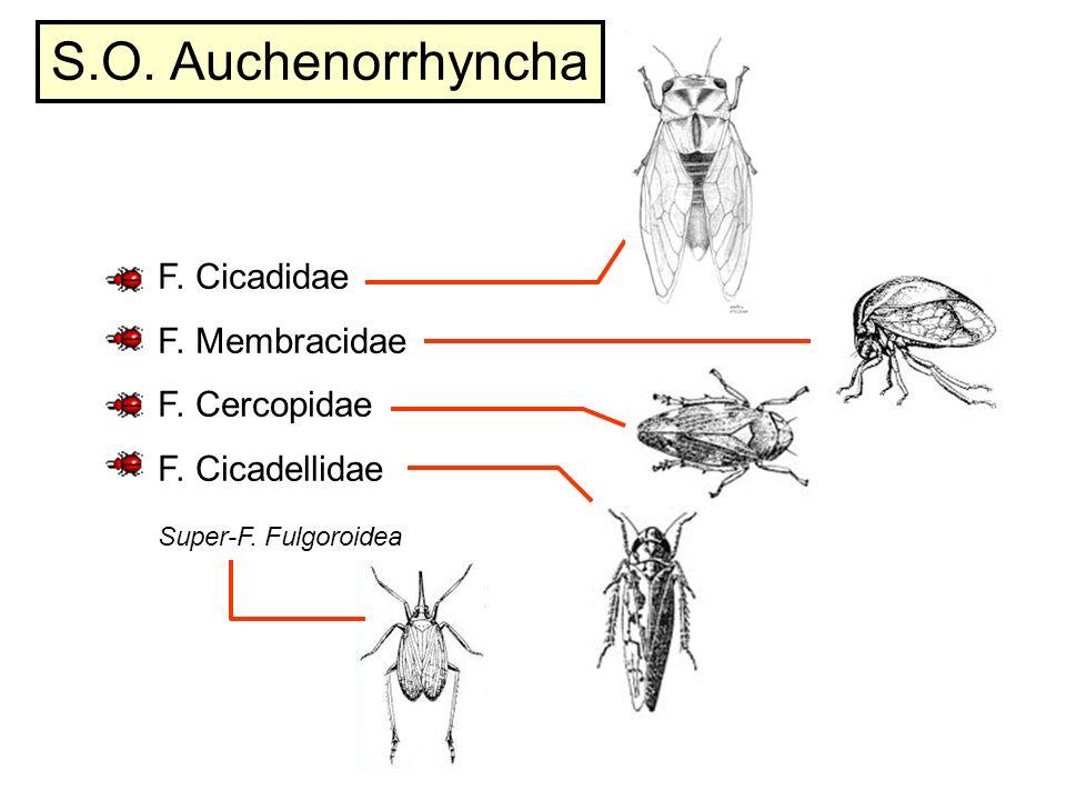 S.O. Auchenorrhyncha F. Cicadidae F. Membracidae F. Cercopidae F. Cicadellidae Super-F. Fulgoroidea