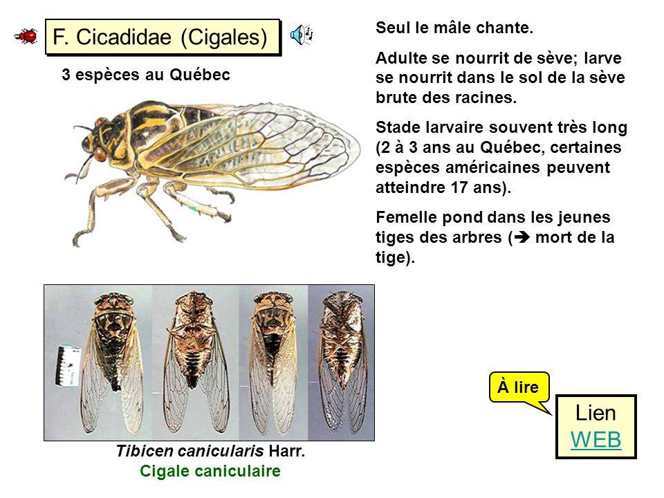 F. Cicadidae (Cigales) Seul le mâle chante. Adulte se nourrit de sève; larve se nourrit dans le sol de la sève brute des racines. Stade larvaire souve