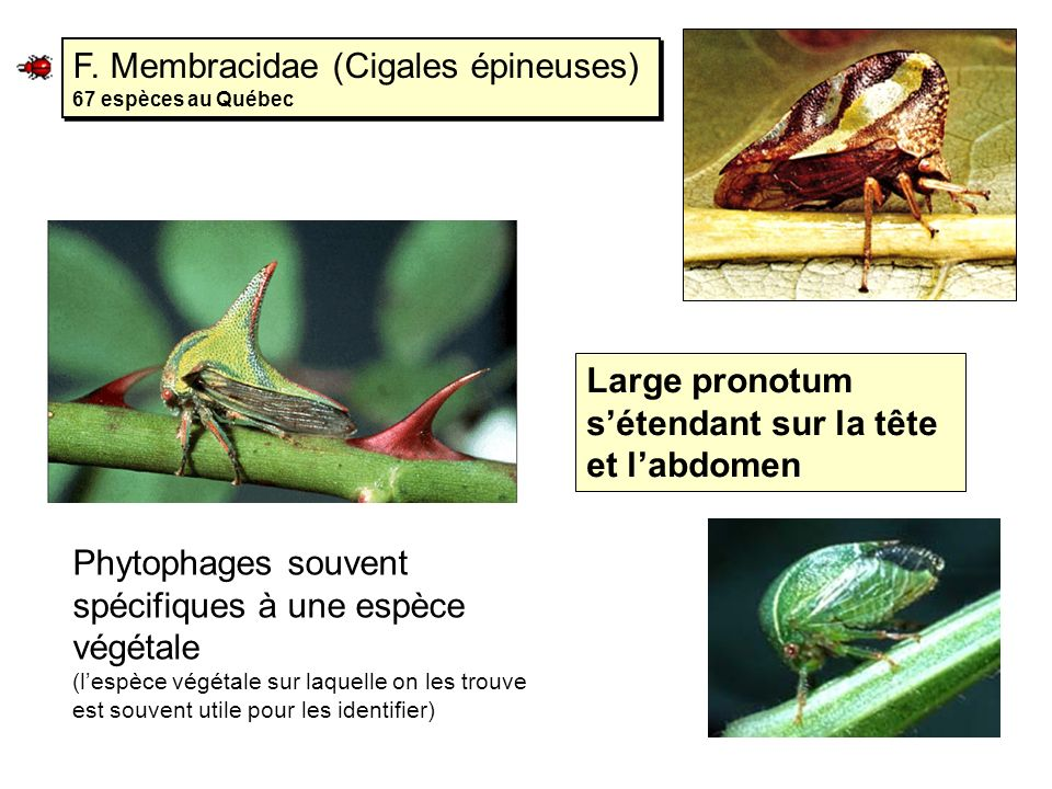 F. Membracidae (Cigales épineuses) 67 espèces au Québec Large pronotum sétendant sur la tête et labdomen Phytophages souvent spécifiques à une espèce