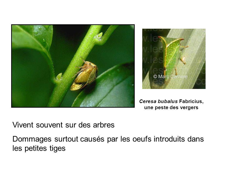 A, Adulte. B, Œufs. C-E Larves F, dernier stade larvaire