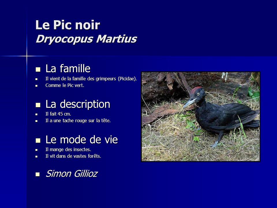 Le Pic noir Dryocopus Martius La famille La famille Il vient de la famille des grimpeurs (Picidae).