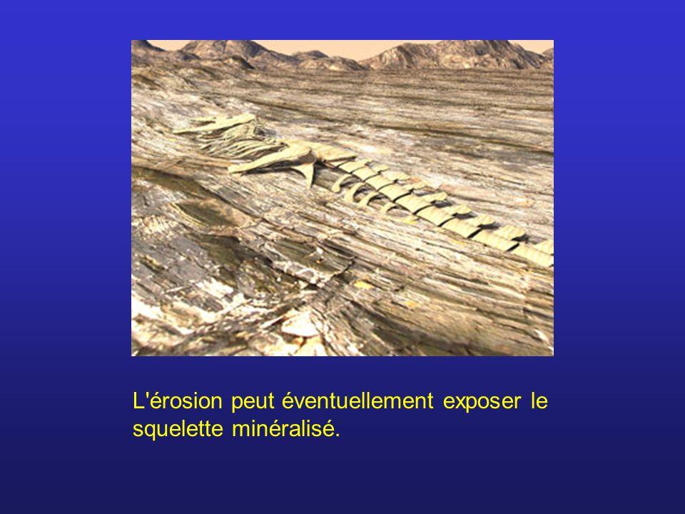 L'érosion peut éventuellement exposer le squelette minéralisé.