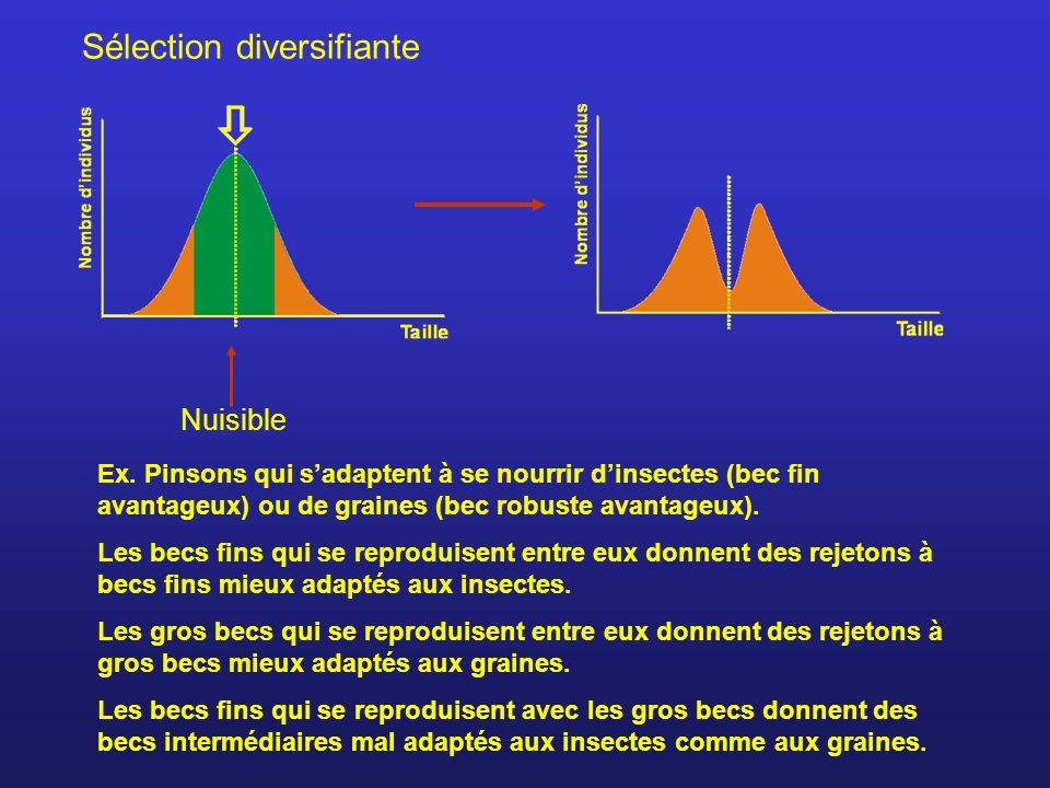 Sélection diversifiante Nuisible Ex. Pinsons qui sadaptent à se nourrir dinsectes (bec fin avantageux) ou de graines (bec robuste avantageux). Les bec