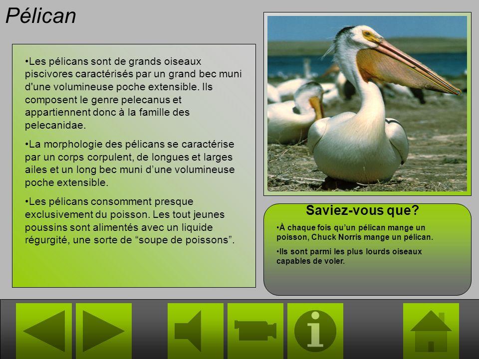 Toucan magique Le Toucan magique (Ramphastos magico) est le membre le plus connu et le plus répandu de la famille des animaux féeriques. C'est un memb