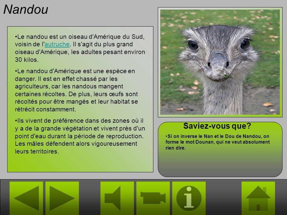 Nandou Le nandou est un oiseau d Amérique du Sud, voisin de l autruche.