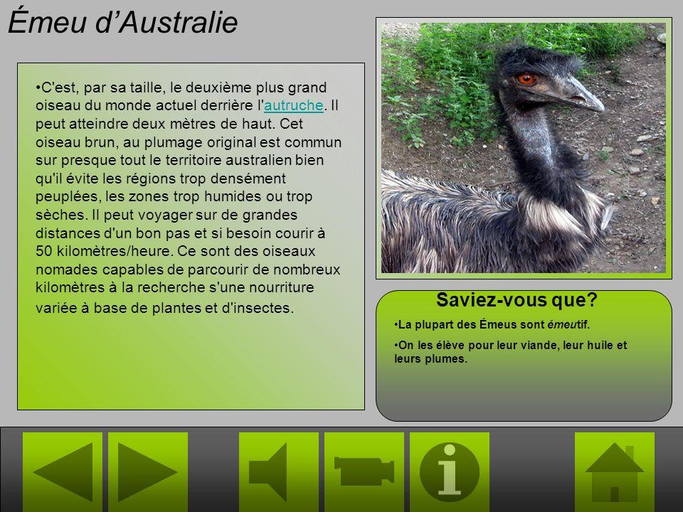 Émeu dAustralie C est, par sa taille, le deuxième plus grand oiseau du monde actuel derrière l autruche.