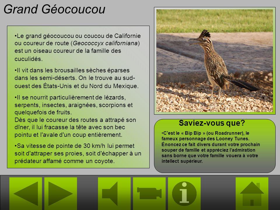 Grand Géocoucou Le grand géocoucou ou coucou de Californie ou coureur de route (Geococcyx californiana) est un oiseau coureur de la famille des cuculidés.