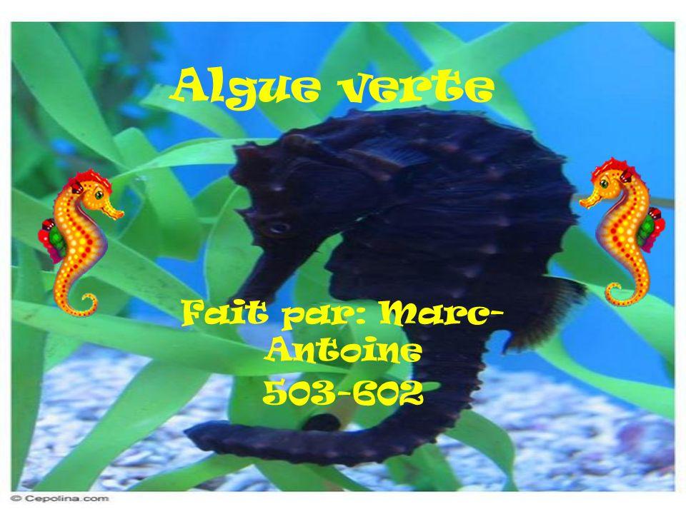 Algue verte Fait par: Marc- Antoine 503-602