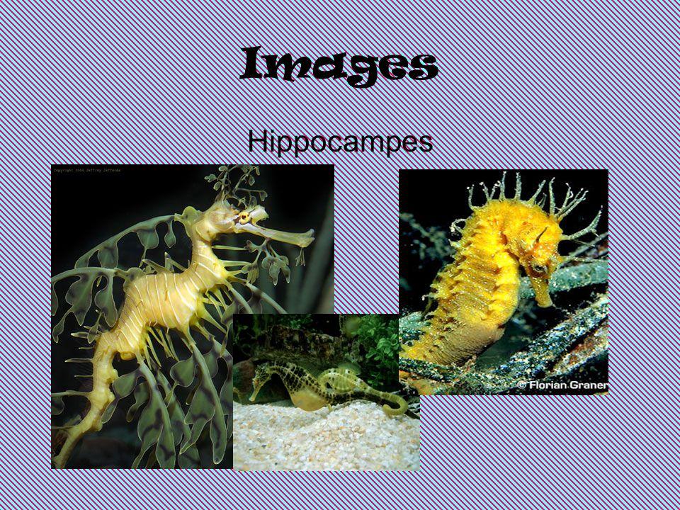 Images Hippocampes