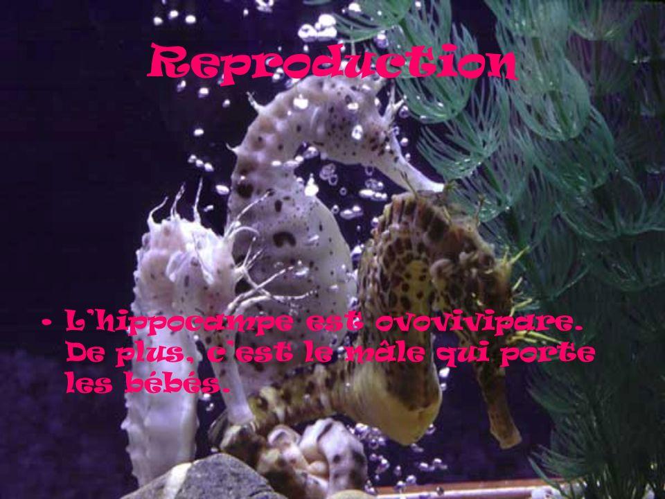 Reproduction Lhippocampe est ovovivipare. De plus, cest le mâle qui porte les bébés.