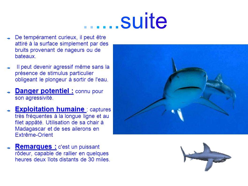 ......suite De tempérament curieux, il peut être attiré à la surface simplement par des bruits provenant de nageurs ou de bateaux. Il peut devenir agr