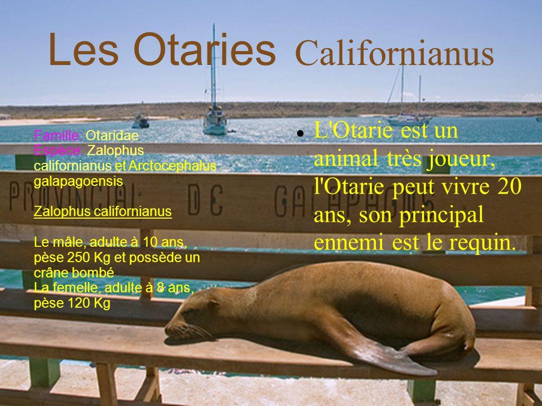 L'Otarie est un animal très joueur, l'Otarie peut vivre 20 ans, son principal ennemi est le requin. Les Otaries Californianus Famille: Otaridae Espèce