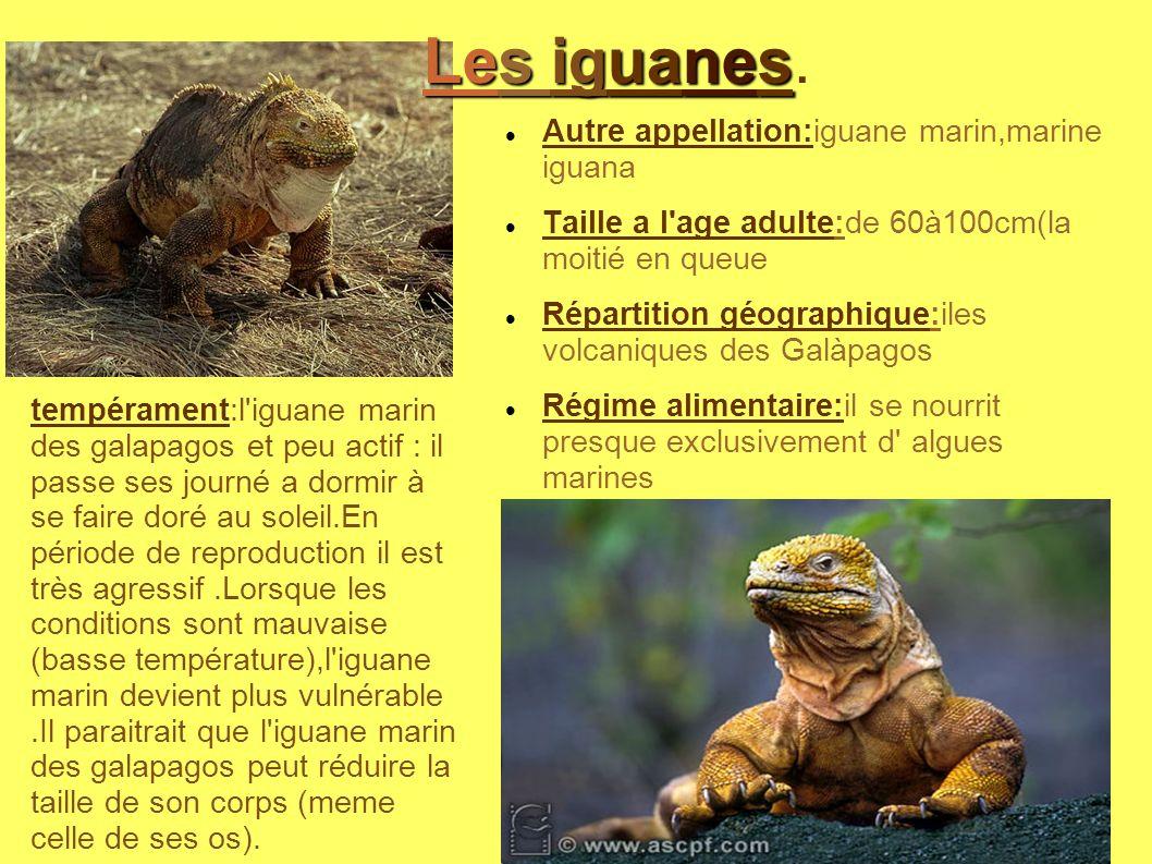 Autre appellation:iguane marin,marine iguana Taille a l'age adulte:de 60à100cm(la moitié en queue Répartition géographique:iles volcaniques des Galàpa