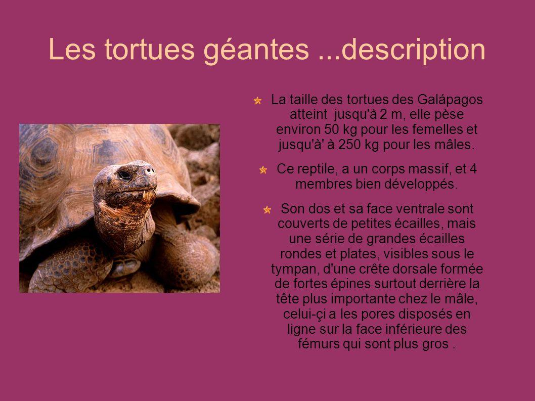 La taille des tortues des Galápagos atteint jusqu'à 2 m, elle pèse environ 50 kg pour les femelles et jusqu'à' à 250 kg pour les mâles. Ce reptile, a
