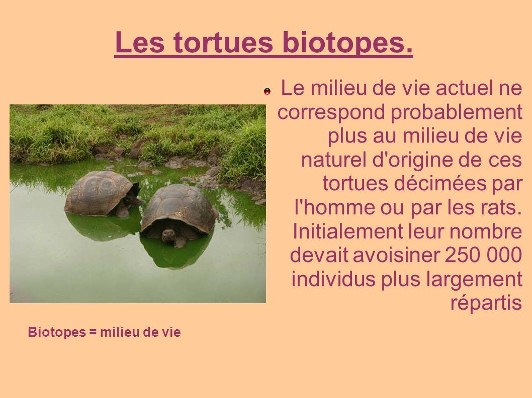 Les tortues biotopes. Le milieu de vie actuel ne correspond probablement plus au milieu de vie naturel d'origine de ces tortues décimées par l'homme o